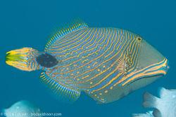 BD-140324-Apo-3468-Balistapus-undulatus-(Park.-1797)-[Orange-lined-triggerfish.-Orangestrimmig-tryckarfisk].jpg